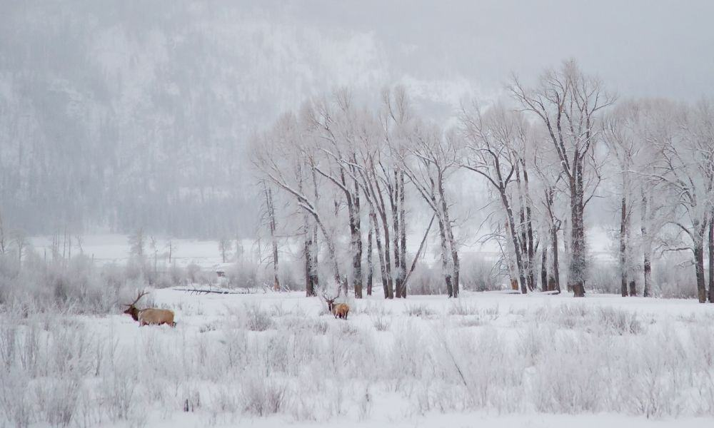 winter in Lamar Valley, Yellowstone