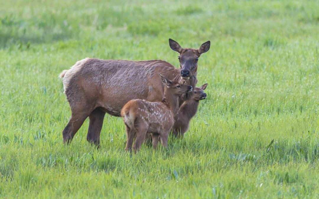 elk and fawn at Yellowstone in the spring
