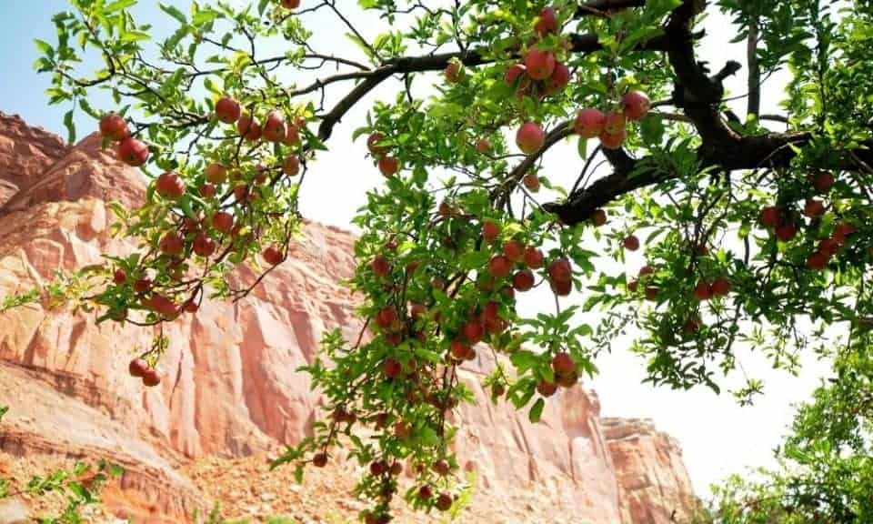 fruit orchard at Capitol Reef National Park