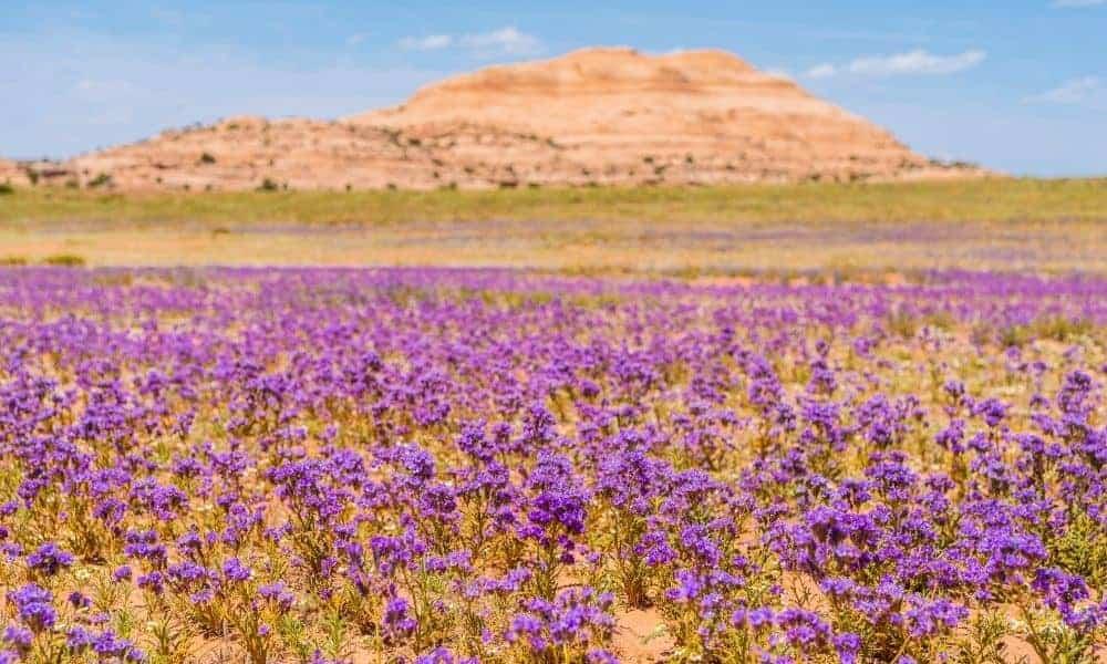 wildflowers in Utah in the spring