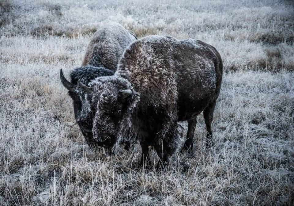 frost covered bison at Yellowstone