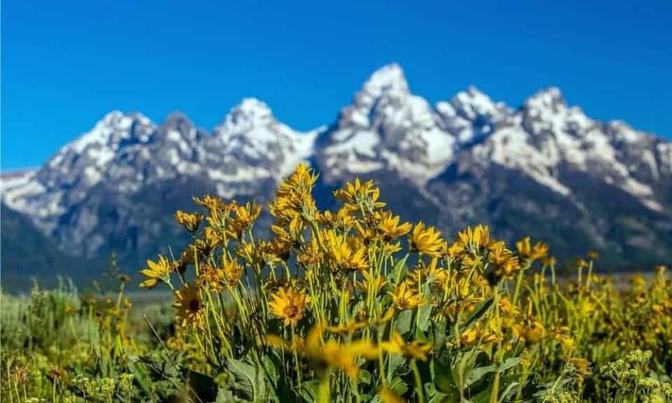 grand teton wildflowers